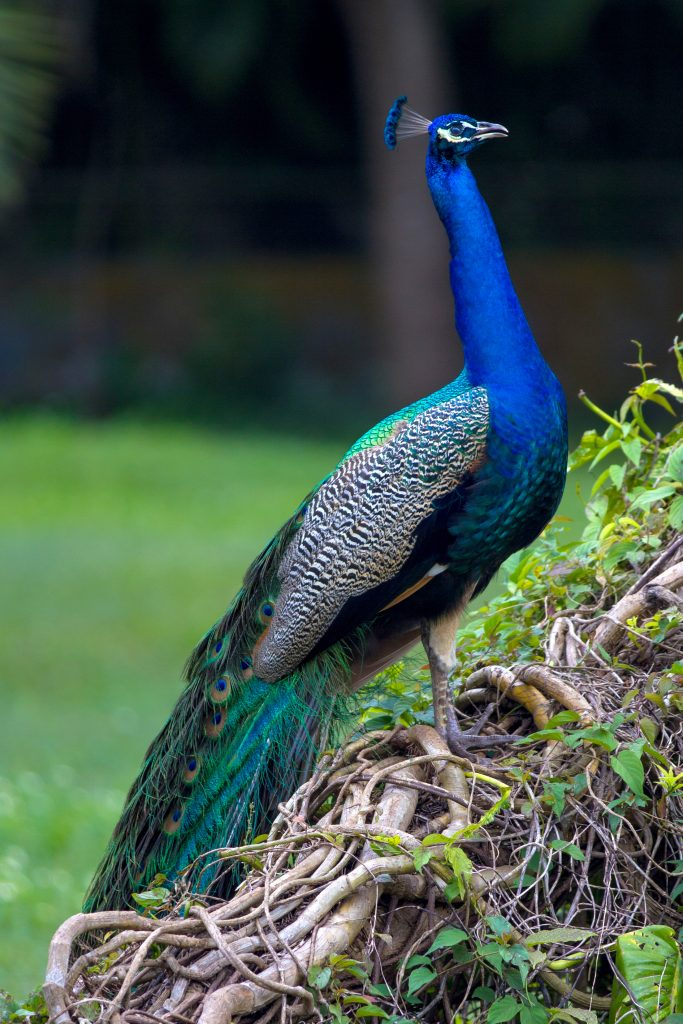 One of the peacocks of the property.