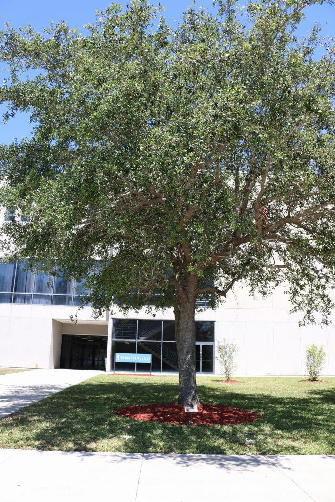 The oak tree dedicated to Charlotte Fulton.