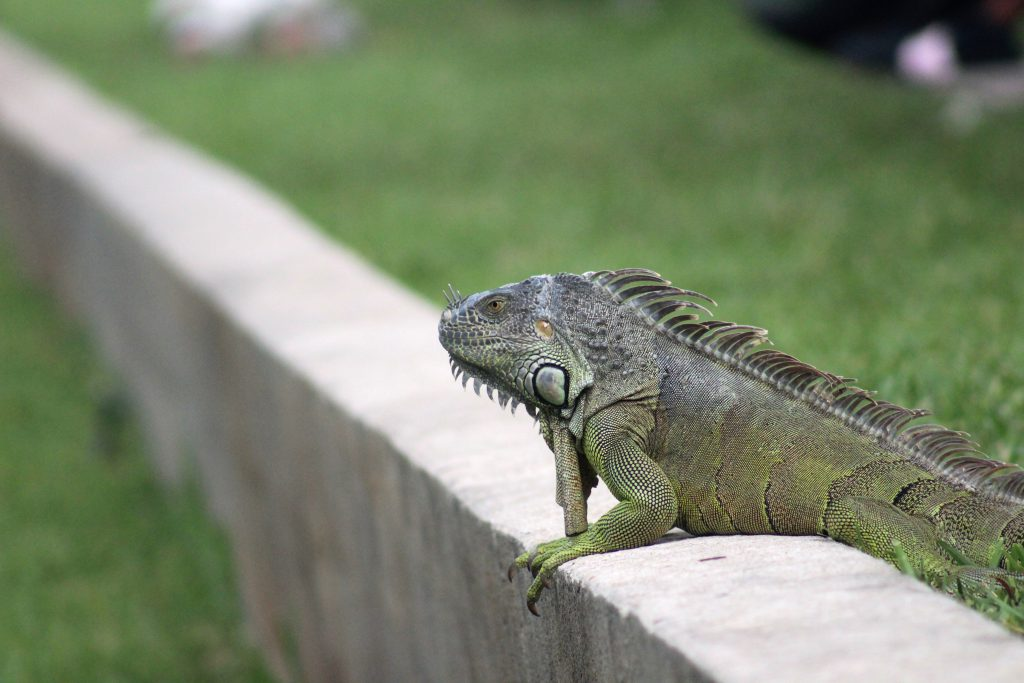 An iguana resting near the lake.