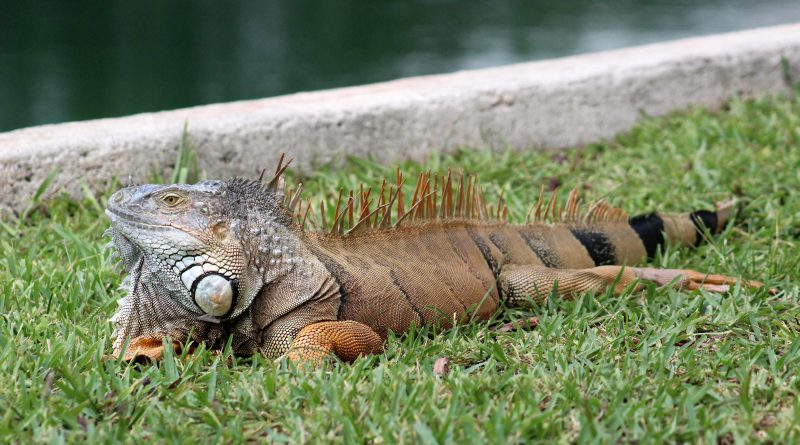 A large iguana resting next to the lake.
