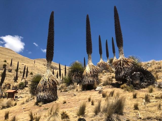 Photo of some Puya Raimondii.