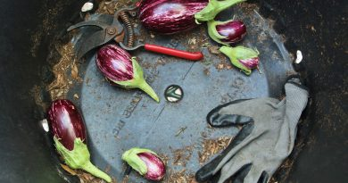A bucket with eggplants and garden gloves inside. Sustainable Living practiced at Wolfson Campus.